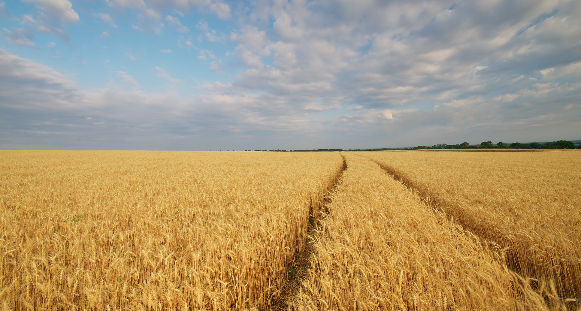 Wheat Varieties - What To Drill in 2022 - Ceres Rural